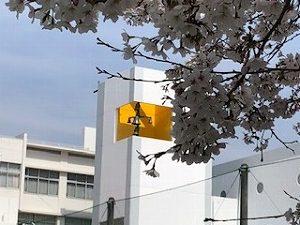 聖望学園グランドの桜です!